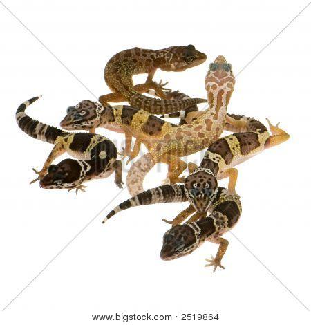 Leopard Gecko - Eublepharis Macularius
