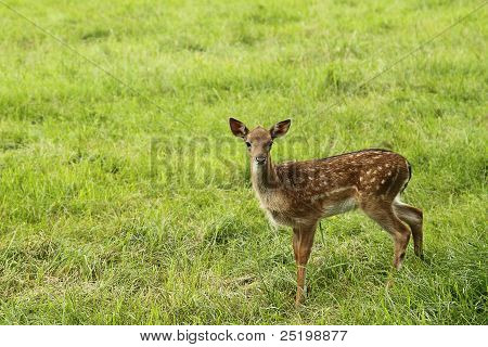 Small Doe In Zoo