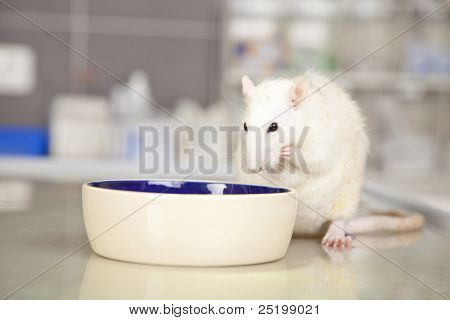 domestic rat eating something