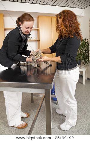gato doméstico siendo examinada