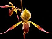 picture of flower arrangement  - Paphiopedilum orchid pair in browns and yellows against a black background - JPG
