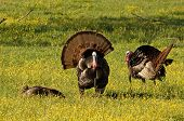 stock photo of wild turkey  - Photograph of several beautiful wild turkeys in a spring meadow in the Appalachian mountains - JPG