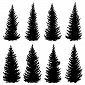 Set Of Vector Silhouettes Of Old Wild Spruce Trees (fir, Fir-tree). poster