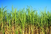 stock photo of ethanol  - sugarcane plantation - JPG