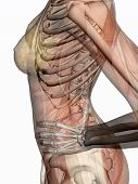 Anatomy, Transparant Muscles With Skeleton.