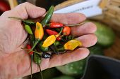 Hot Chili peppers in a persons hand. Green, yellow, orange and red hot chili peppers.  poster