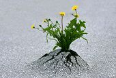 picture of penetration  - Plants emerging through rock hard asphalt - JPG