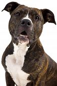 pic of pit-bull  - a pretty american staffordshire terrier in the studio - JPG