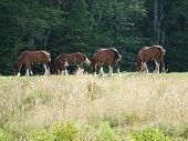 stock photo of clydesdale  - Draft horses grazing in field Lunenburg County Nova Scotia Canada - JPG