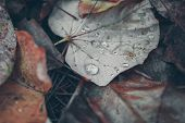 Fallen Autumn Leaves With Rain Drops. Foliage Of The Forest. Macro View Of Rain Drops On Fallen Leav poster