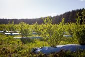 Field Of Blueberries, Bushes With Future Berries Against The Blue Sky. Farm With Berries poster