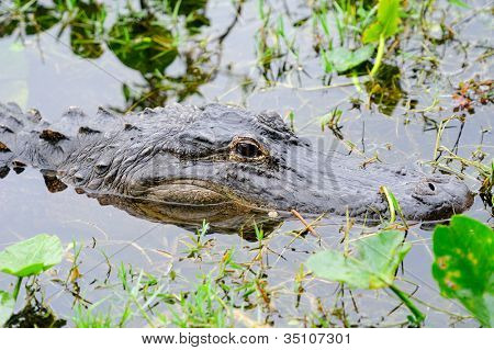 Alligator closeup in wild in Gator Park in Miami, Florida.