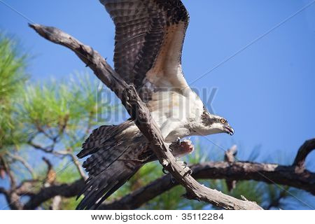 Osprey Flapping Wings Holding Fish In Tree