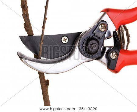 Trimming tree branch with pruner isolated on white