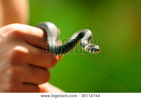 Water Snake (Natrix) In Hand
