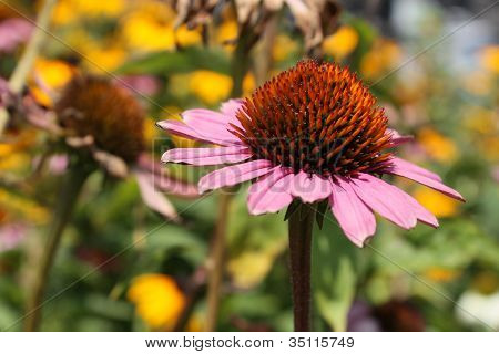 Lovely Pink Daisy