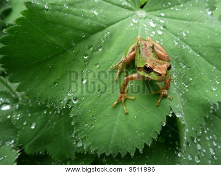 Pacific Tree Frog On Dewy Leaf