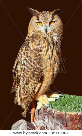 Bubo bubo eagle owl night bird on brown background [ photo-illustration]