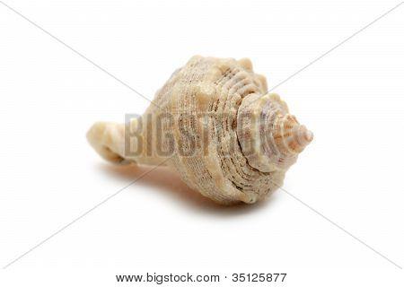 Seashell Isolated On White Background Macro