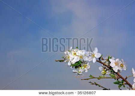 Flowers Of A Plum Tree Over Blue Sky
