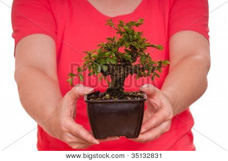 Little Japanese Elm Are Holding From Female Hands