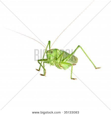 Grasshopper Isolated