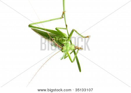 Grasshopper On A Stalk Isolated