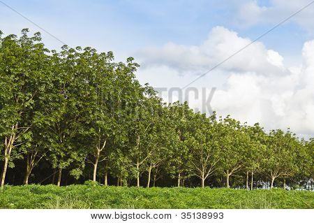 Rubber Trees Forest