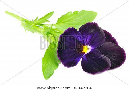 Purple Pansy Violet Flower