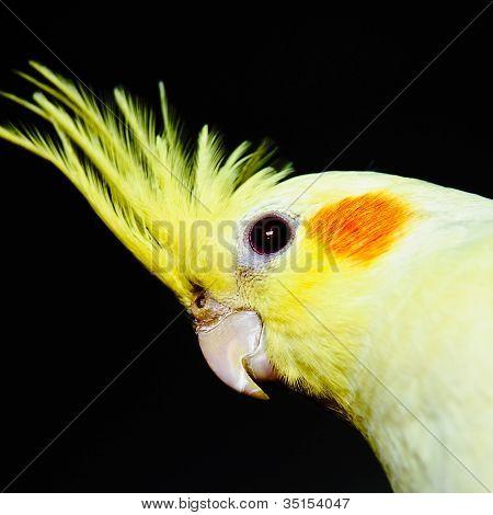Yellow Cockatiel Head Across