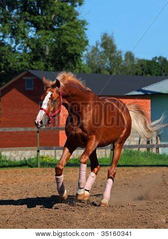 Arabian Stallion galloping