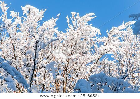 Branches full of snow in the sun
