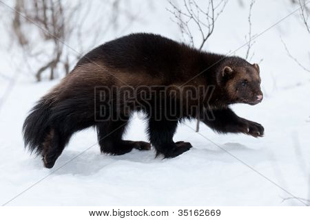 Wolverine in the snow