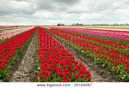 Tulip Fields In Schagen