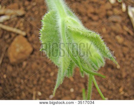 Blooming Calabash