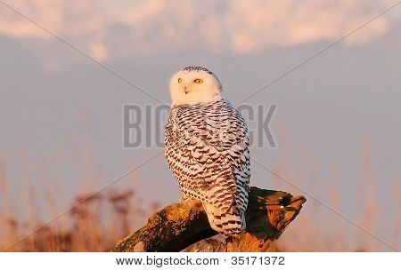 Snowy Owl at sunset with the Rockies