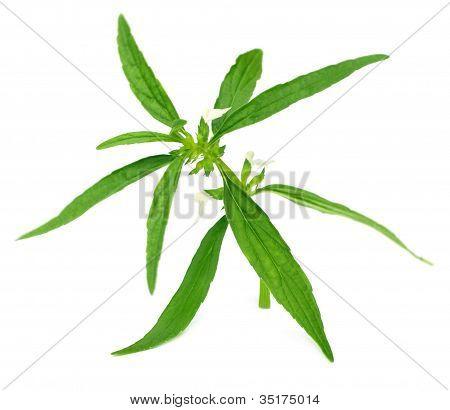 Leucas aspera or medicinal dondokolosh leaves