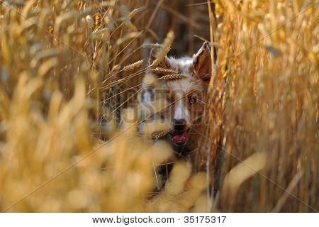 Dog In Field Of Wheat