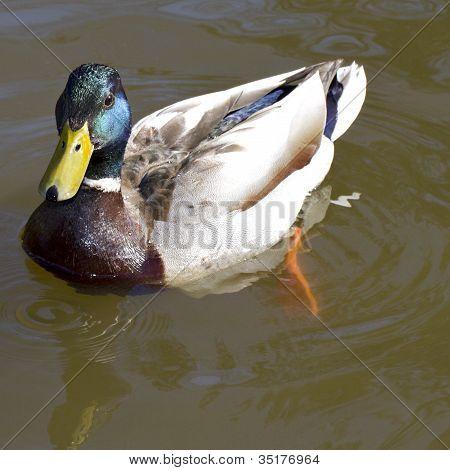 Drake Mallard Duck Paddling Slowly