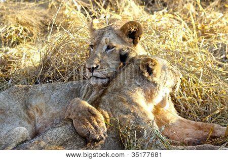 Lions cubs embrace