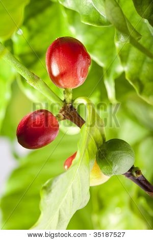 Ripe and unripe berries of coffee tree