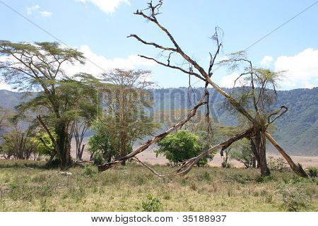 Trees in the Ngorongoro National Park