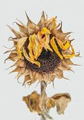 foto of sag  - Dead sunflower - JPG