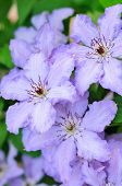 Light Purple Clematis Flowers