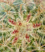 pic of xeriscape  - Fish hook barrel cactus from the Arizona desert close - JPG