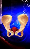 picture of pubis  - Digital illustration  of pelvic girdle in    colour background - JPG