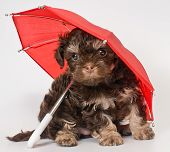 Puppy with umbrellas