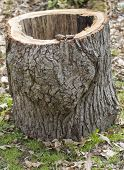 image of hollow log  - A hollowed out White Oak tree log just cut up from a recent thunderstorm - JPG