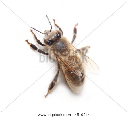 Busy Bee Worker Close-up Isolated On White Background