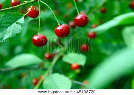 Close up of cherry fruits on a tree